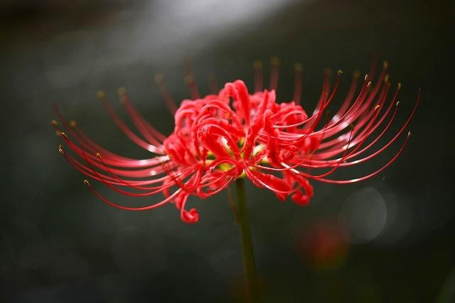 賀茂川の彼岸花5