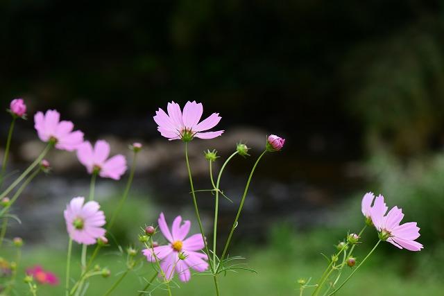 賀茂川のコスモス11