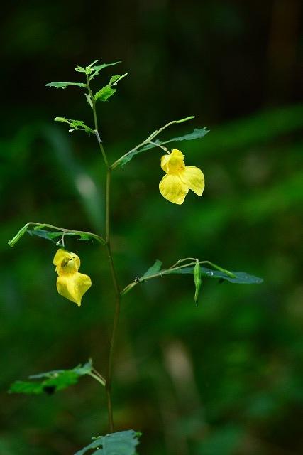 黄ツリフネ1