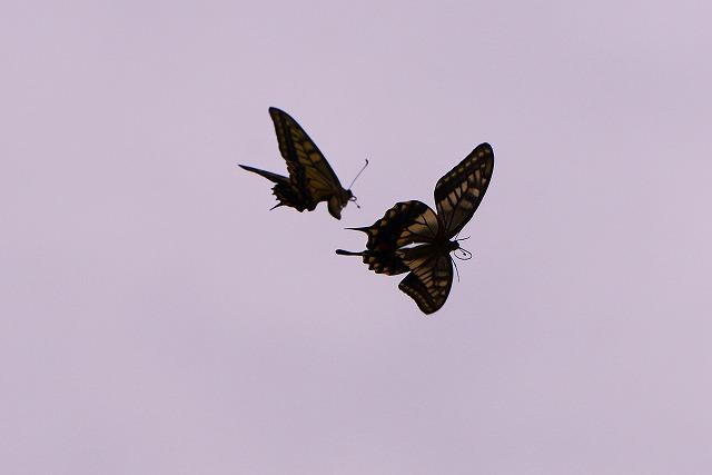 ランデブーする蝶