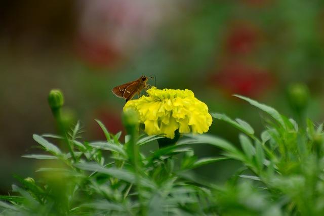 マリーゴルドとセセリ蝶