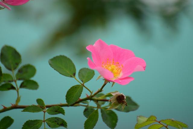 バラ ビンゴメイディランド