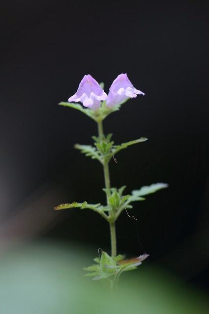 コシオガマ6