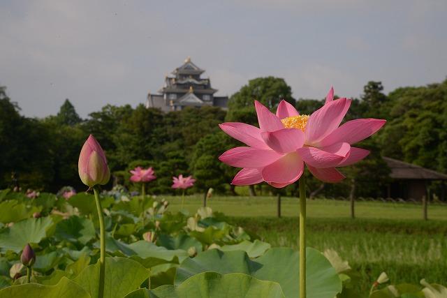 後楽園の蓮と城