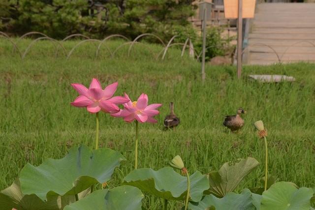 後楽園の蓮と鴨