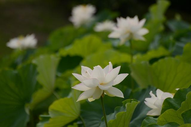花葉の池の蓮4