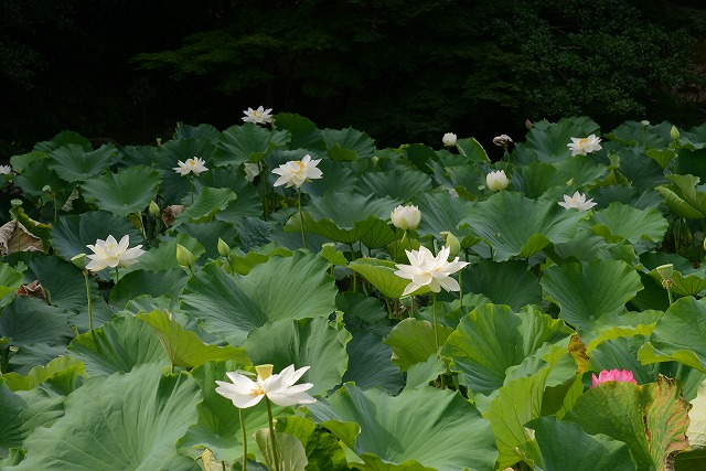 花葉の池の蓮2
