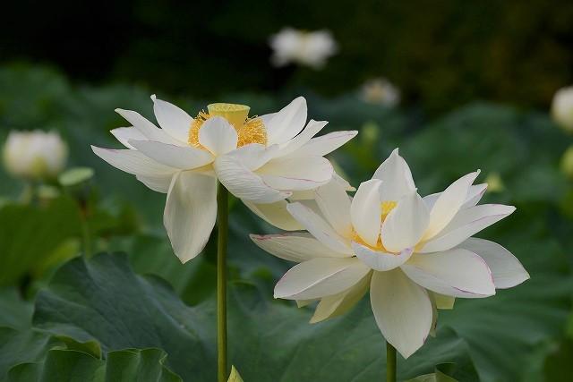 花葉の池の蓮6