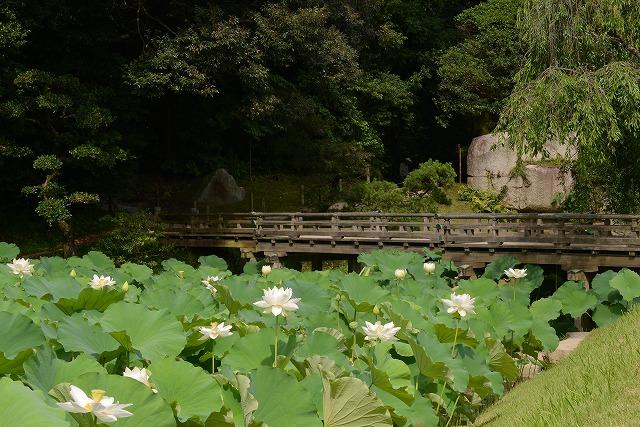 花葉の池の蓮1