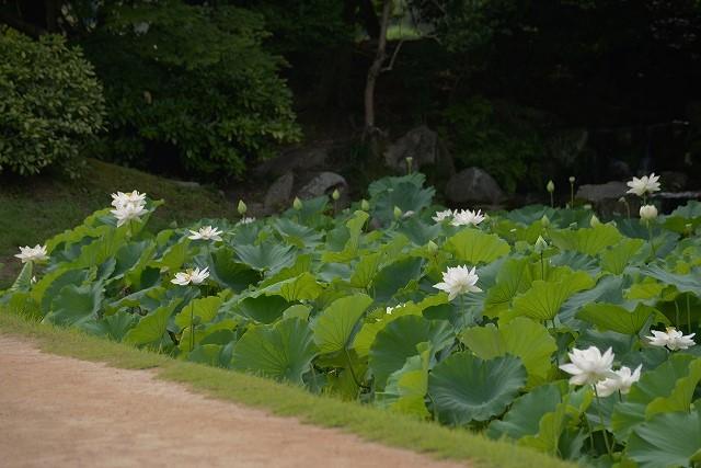 花葉の池の蓮9