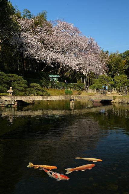 後楽園の桜13