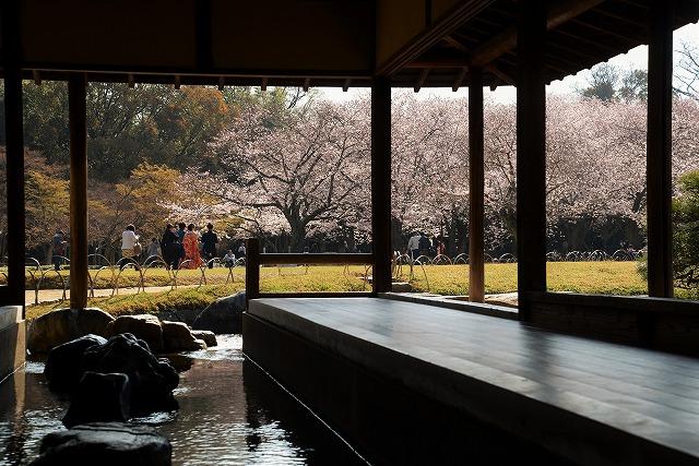 後楽園の桜18