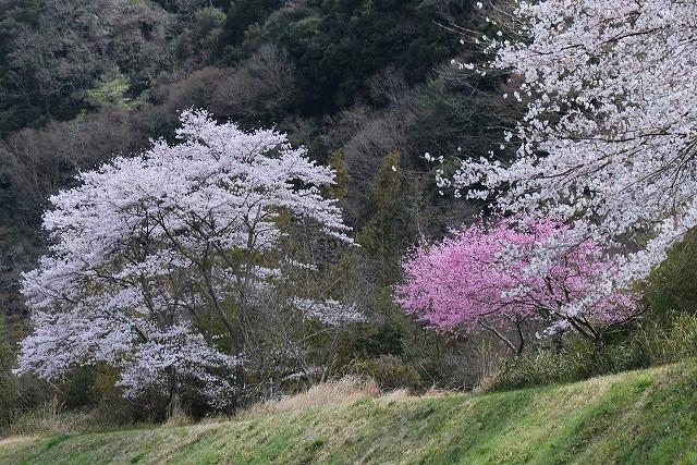 土手の桜1