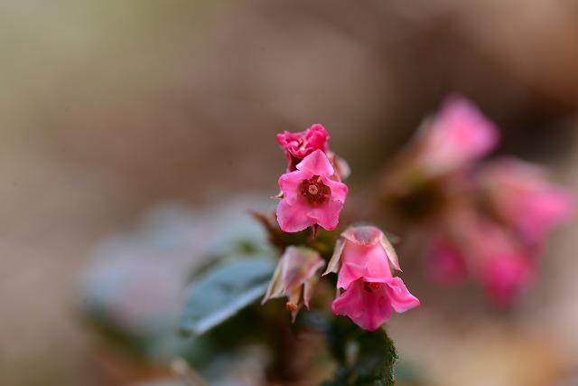 濃いピンクのイワナシ