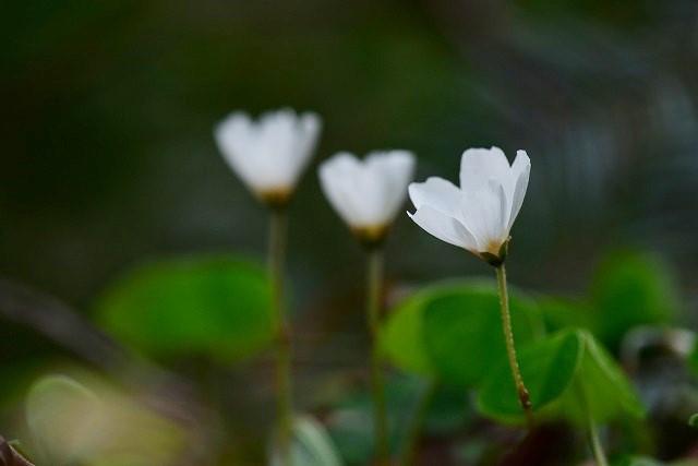 ミヤマカタバミ(白)