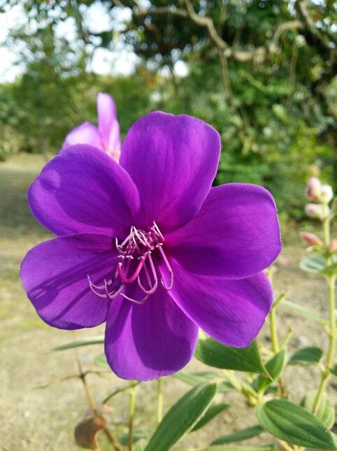 紫紺の野牡丹