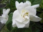 くちなしの花その2