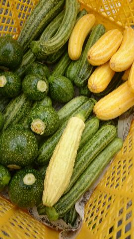 ズッキーニ収穫