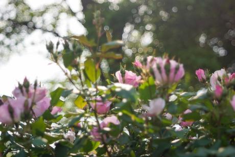 2016_rose_3.jpg