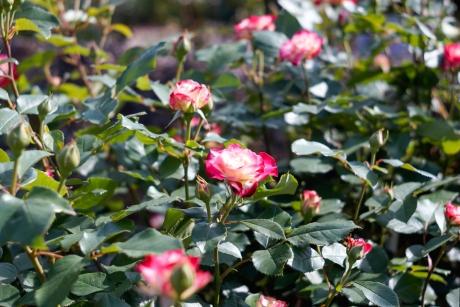2016_rose_4.jpg