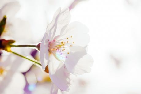 cherry_blossom_1.jpg