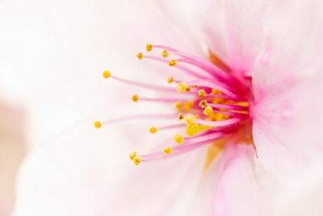 cherry_blossom_3.jpg