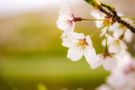 cherry_blossom_4.jpg