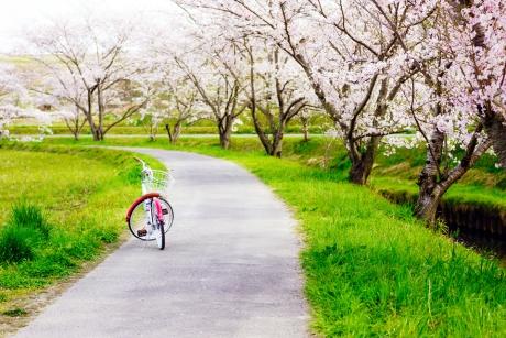 sakura_rode2.jpg