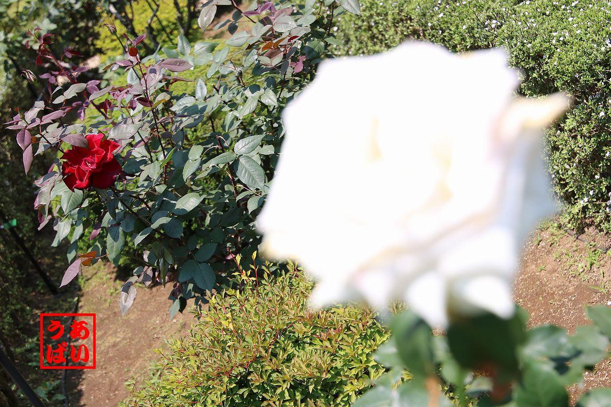 IMG_201606_hatsukoi02.jpg