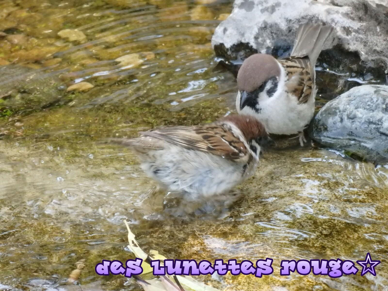雀さんの水浴び