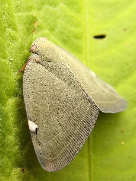 アミガサハゴロモb