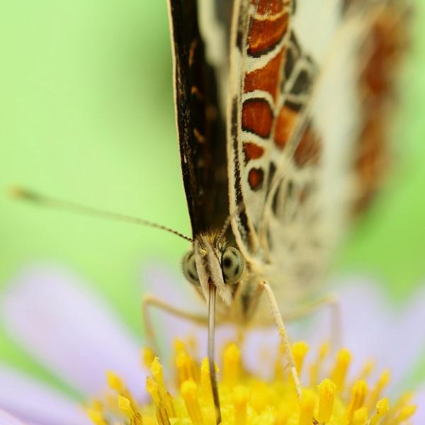 サカハチチョウ (1)b