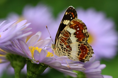 サカハチチョウ (3)b