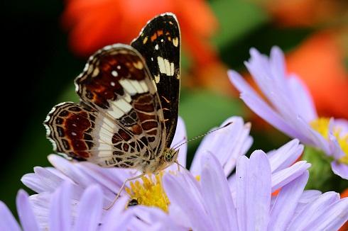サカハチチョウ (4)b