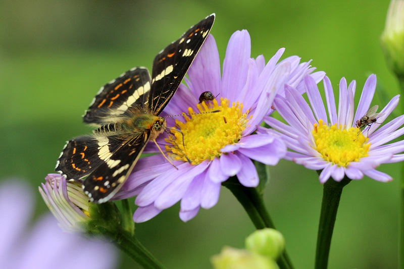 サカハチチョウ (5)b