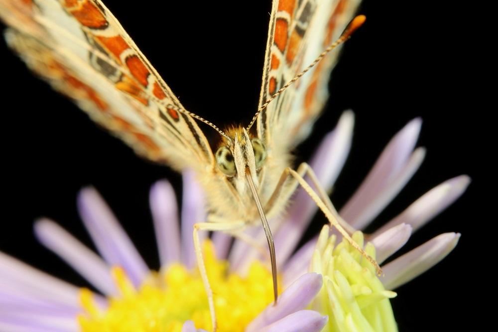 サカハチチョウ (6)b