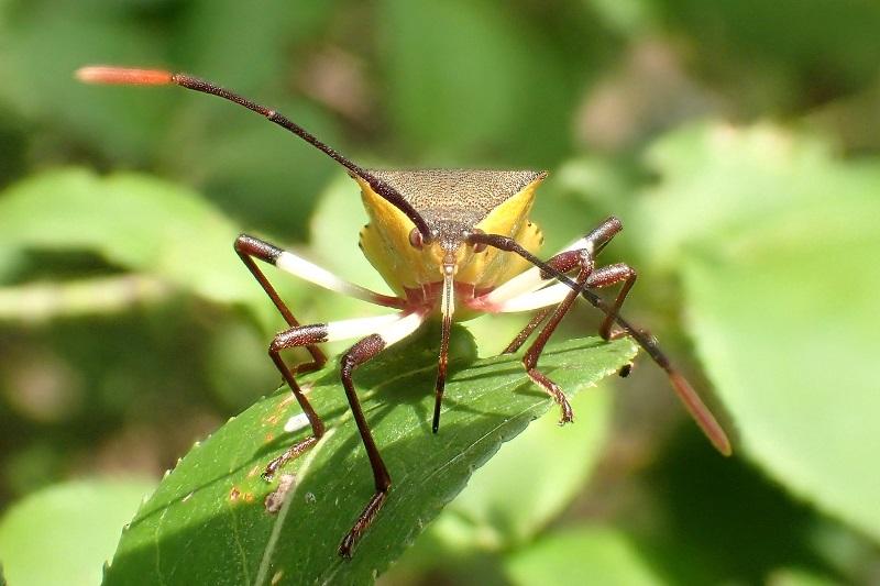 キバラヘリカメムシ (2)b