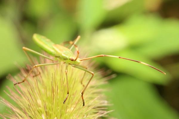 クモヘリカメムシ (2)b