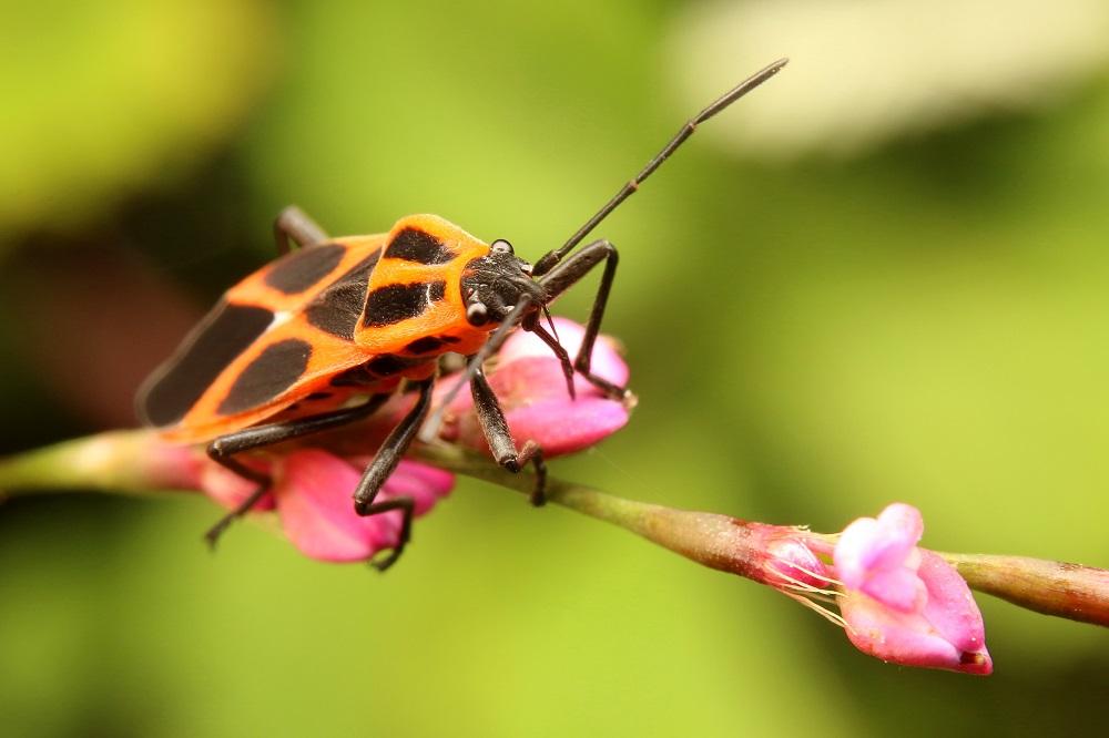ジュウジナガカメムシ (1)b