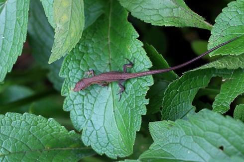 ニホンカナヘビ幼体b