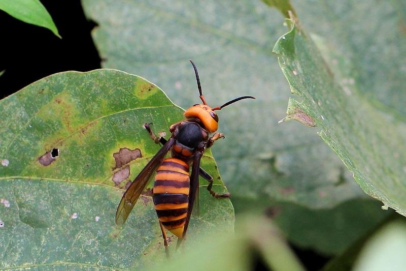 オオスズメバチb