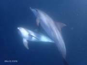 Swimming with wild Indo-Pacific Bottlenose Dolphins at 御蔵島
