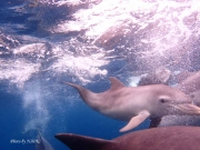 Swimming with wild Indo-Pacific Bottlenose Dolphins at 御蔵島(2016/6/4)
