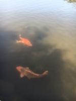 鯉 あかり