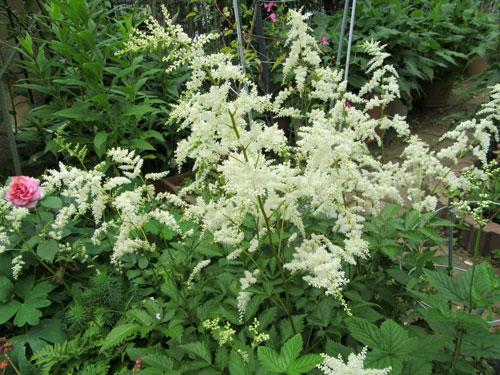 アスチルベ 白花