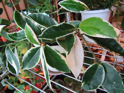 ホヤ・カルノーサ 斑入り葉