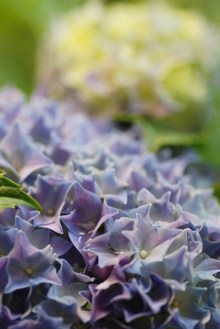 2016-06-10 庭 紫陽花 ①