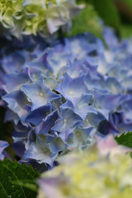 2016-06-10 庭 紫陽花 ④