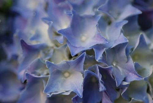 2016-06-10 庭 紫陽花 ⑤