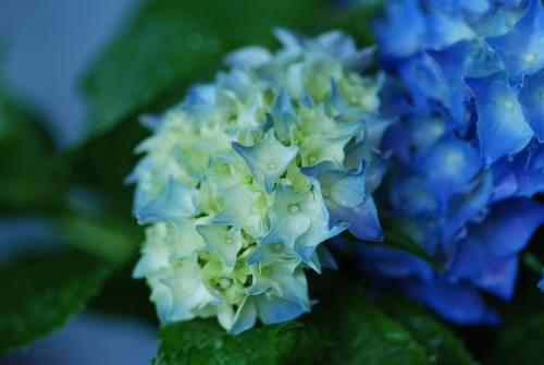 2016-06-10 庭 紫陽花 ⑧